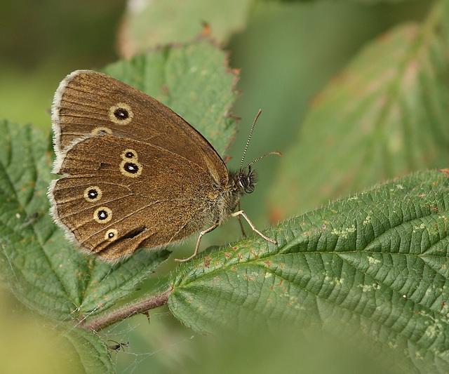 Ringlet (Aphantopus hyperantus) butterfly