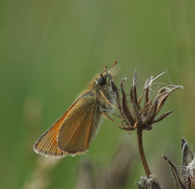 Small skipper (Thymelicus sylvestris) butterfly