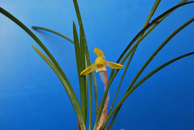 Syunran Orchid (Cymbidium goeringii) from Yamanashi