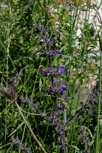 Salvia pratensis (4)
