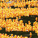 Rubber Duckie Race (p3299663)