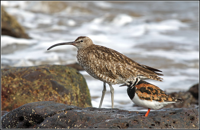Whimbrel & Turnstone together.