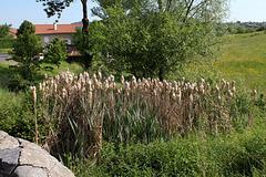 Typha latifolia (2)