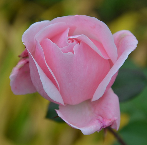 Rose douceur