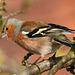 Chaffinch (Fringilla coelebs), Newton, Suffolk, England