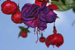 "Fuchsia ""Blue Eyes"""