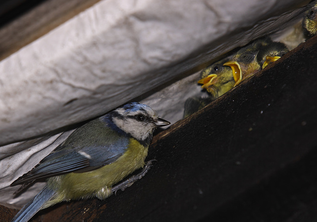 Blue tit (Cyanistes/Parus caeruleus) and chicks