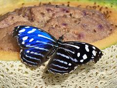 Blue Wave / Myscelia cyaniris