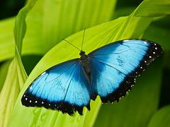 Blue Morpho / Morpho peleides