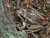 Camouflaged Wood Frog