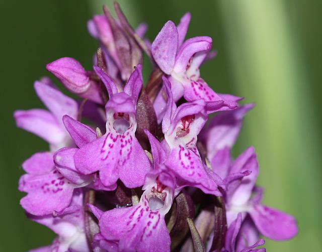 Southern Marsh Orchid (Dactylorhiza praetermissa)