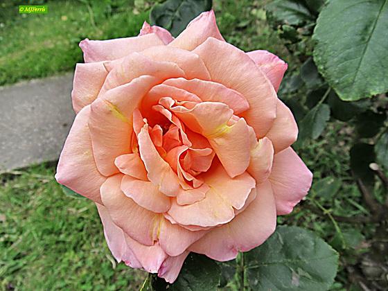 22 Margaret's rose
