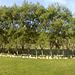 The Barnyard Willows