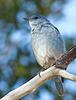 Mountain Bluebird on bokeh