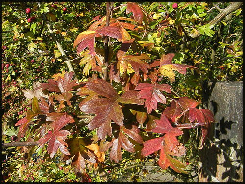 shades of autumn hawthorn