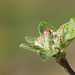 Apple flower bud