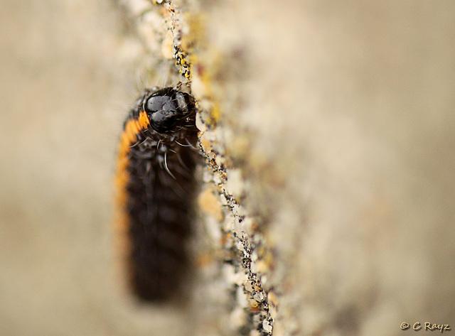 Marbled Beauty Caterpillar