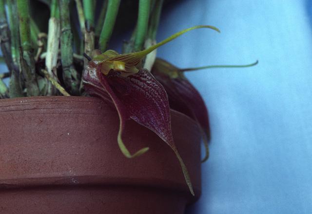 Byrsella angulata