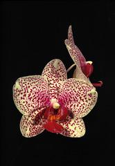 Phalaenopsis Ann Krull 'Tammany'