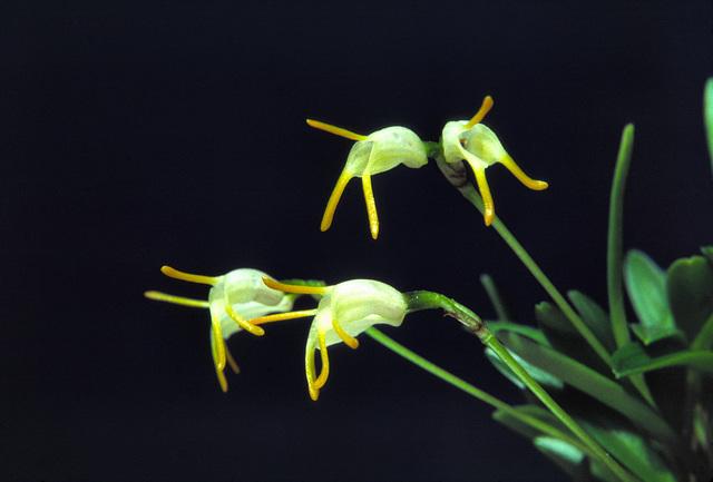 Acinopetala chontalensis