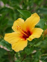 Hibiscus (p3316239)