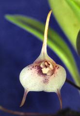 Acinopetala floribunda galleotianum