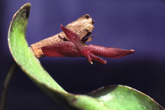 Acronia penelops
