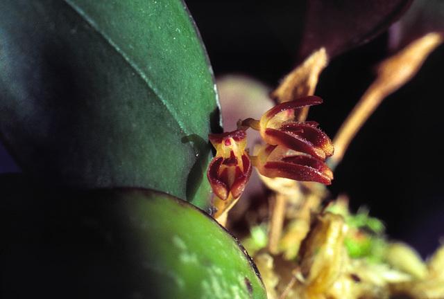 Trichosalpinx ciliaris