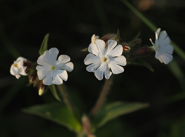 White campion (Silene alba)