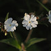 White campion (Silene alba)