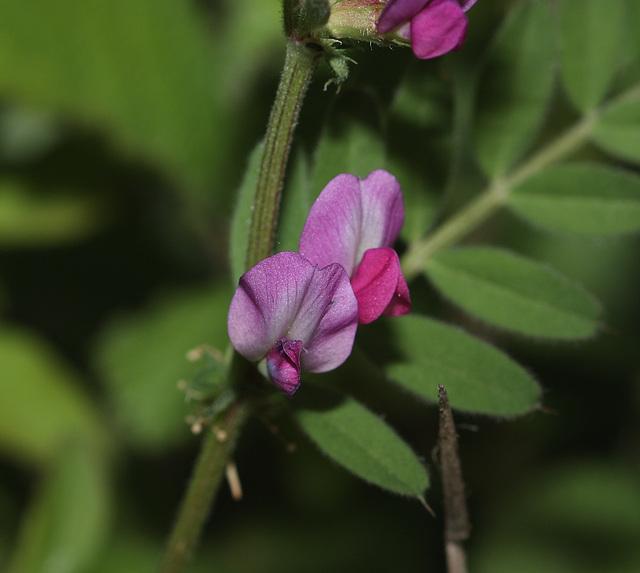 Common vetch (Vicia sativa ssp sativa)