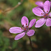 Common stork's-bill (Erodium ssp cicutarium)