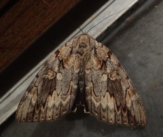 Nutmeg Moth (Anarta trifolii)