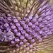 Bokeh Thursday: T is For Teasel Blossoms