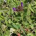 Prunella grandiflora- Brunelle à grande fleur (2)