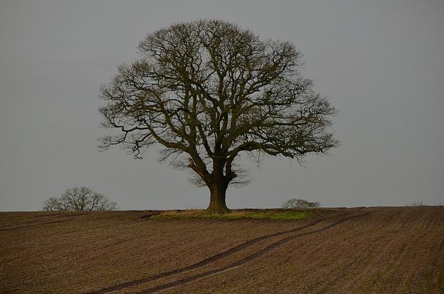 Lone Tree, Staffordshire