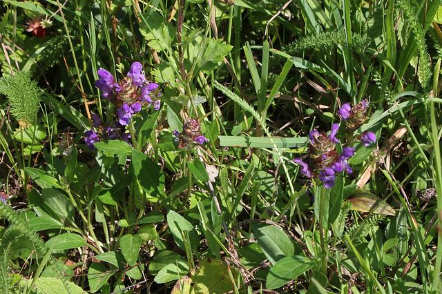 Prunella grandiflora- Brunelle à grande fleur (3)