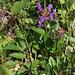 Prunella grandiflora- Brunelle à grande fleur (4)