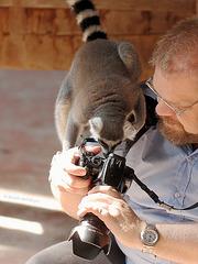 Neugieriger Katta (Hagenbeck)
