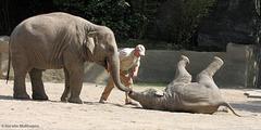 Elefantenschule (Hagenbeck)