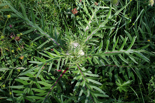 Cirsium eriophorum - Cirse laineux