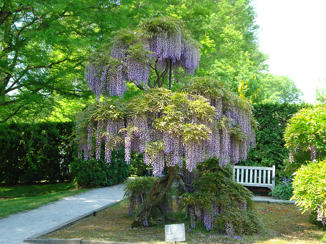 Wisteria at Longwood Gardens