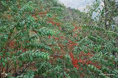 20090215-0638 Woodfordia fruticosa (L.) Kurz