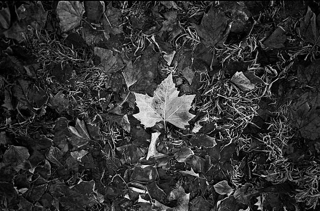 Frosted leaf, Nov 2010.