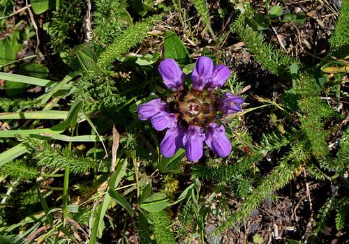 Prunella grandiflora- Brunelle à grande fleur