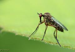 Dagger-faced Fly