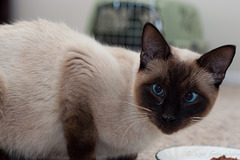 Mr Siamese Cat