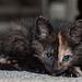 Moxie - Cat 147