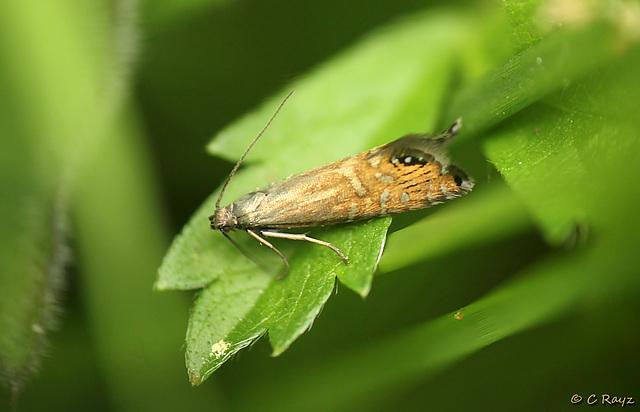 Glyphipterix thrasonella