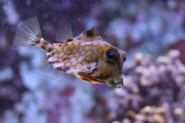 Kamelkofferfisch (Wilhelma)